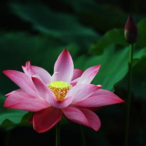 Lotus 20150607 by Steven De Siow - Flowers Single Flower ( lotus, floral photography, nature close up, floral, lotus flower )