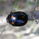 Eight-spotted Leaf Beetle