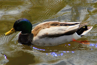 Photo: 17 ... I went for a walk in the park for lunch .... He went for a swim