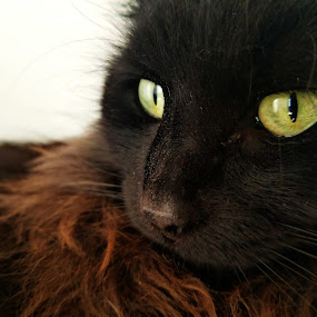 Prowl by Chelsea Mason - Animals - Cats Portraits ( hair, cat, maine coon, eyes,  )