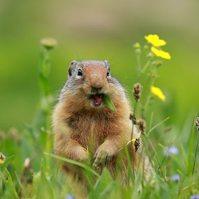 Chow Time in the Meadow by Debbie Salvesen - Animals Other ( kalispell, prairie dog, animal photography, richardson's gopher, june, 2015, montana, wildlife, shayne, logan's pass, glacier national park, , #GARYFONGDRAMATICLIGHT, #WTFBOBDAVIS )