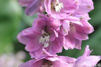Photo: 拍攝地點: 梅峰-溫帶花卉區 拍攝植物: 大飛燕草 拍攝日期: 2015_10_27_FY