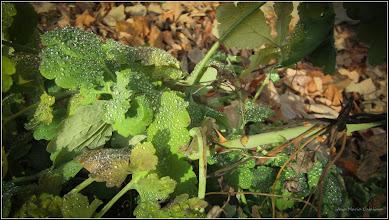 Photo: Rostopască (Chelidonium majus L.) - de pe Str. Salinelor, Nr.15 - 2017.12.27