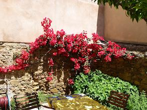 Photo: Bougainvillaen blomstrer i gårdhaven