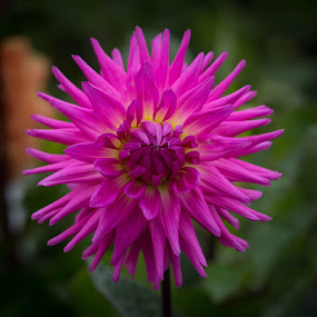 Still Opening by Janet Marsh - Flowers Single Flower ( pink, more dahlias )