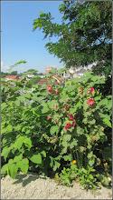 Photo: Iulişca (Fallopia japonica) sau Polygonum Cuspidatum, Polygonum polystachyum - planta invaziva, si Nalbă (Alcea rosea) - de pe Str. Sirenei - 2018.06.20