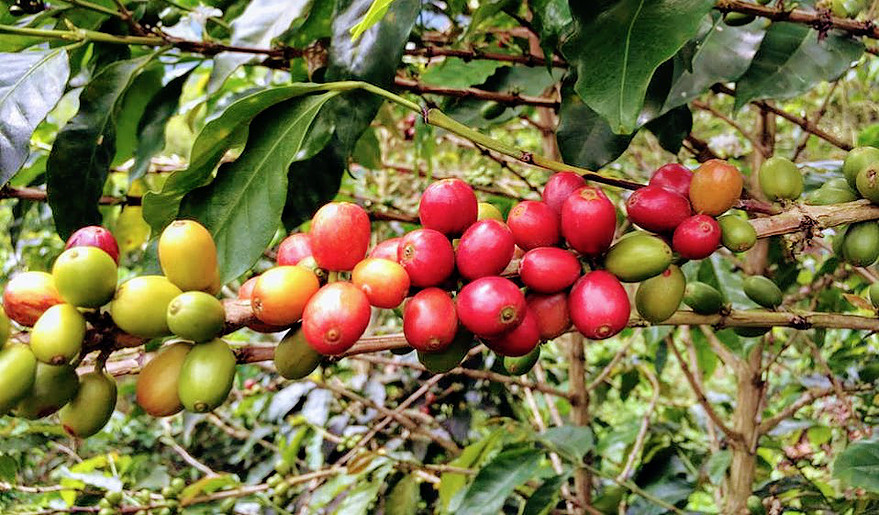 Colombia Pink Bourbon from Finca El Danubio, now available at the Equiano tasting room in Eugene, Oregon or online at equianocoffee.com