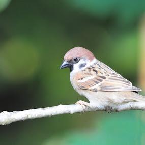 Sparrow by Cassandra Gwan - Animals Birds ( brown, alone, birds, closeup, sparrow,  )