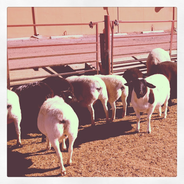 Photo: A herd of sheep taking their lunch break.