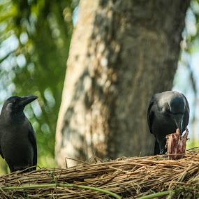 Need a Bite by Sandip Banerjee - Animals Birds ( crow, animals, birds, india, food )