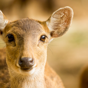 hey,,pssst by Putu Anggara - Animals Other Mammals ( mammmal, safari, ears, nose, eyes )