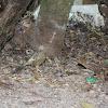 Yellow-billed Babbler