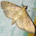 Salbia moth