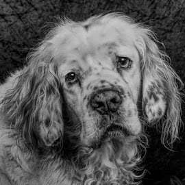 Percy by Philip Watts - Animals - Dogs Portraits