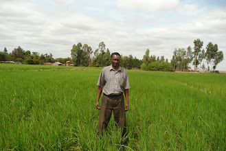 Photo: Mathew Mwaura in his SRI field in Kenya [Photo Courtesy of Bancy Mati]