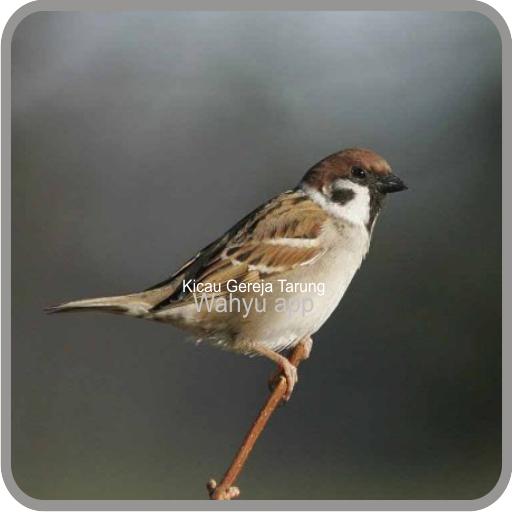 Kicau Burung Gereja Tarung Gacor التطبيقات على Google Play