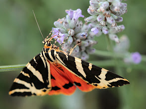 Photo: Jersey Tiger Moth (Euplagia quadripunctaria) This is a beautiful daytime flying moth which appears about this time every year. They are really enjoying my lavender at the moment.  For ++In Praise of Polllinators curated by +Dusty Gedge because we were just discussing them this morning #inpraiseofpollinators  #buggyfriday +Buggy Friday Curators +Ray Bilcliff +Dorothy Pugh +Victoria Etna +On the Wings of Butterflies! curated by +Sharon Jeannette #onthewingsofbutterflies  #macro4all by +Bill Urwin, +Thomas Kirchen, +Mark O'Callaghan  +Walter Soestbergen (+Macro4All ) #hqspnaturalother +HQSP Natural Othercurated by +Valesa Diamontes, +Delcour Eric and +Vincent Dale