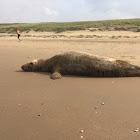 Grijze Zeehond (Grey Seal)