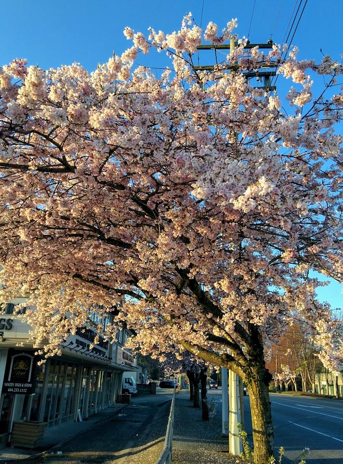 Sunrise Sakura