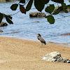 Garza tigre cuellinuda / Bare-throated Tiger-Heron