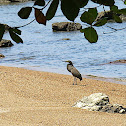 Garza tigre cuellinuda / Bare-throated Tiger-Heron