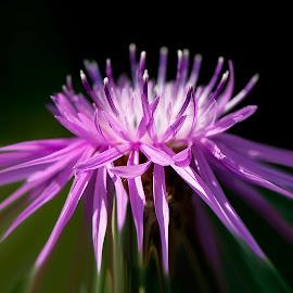 by Kevin Adams - Flowers Single Flower