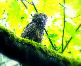 Photo: A very wet Barred Owl with amole
