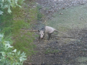 Photo: Big opossum
