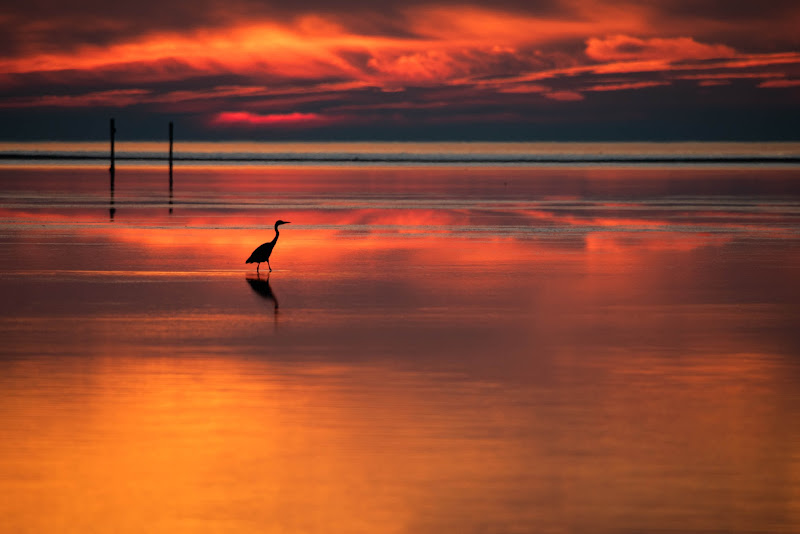 Airone al tramonto di Peter_Sossi