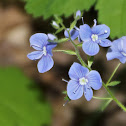 Bird's-eye Speedwell