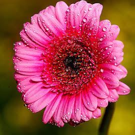 Gerbora by Gérard CHATENET - Flowers Single Flower