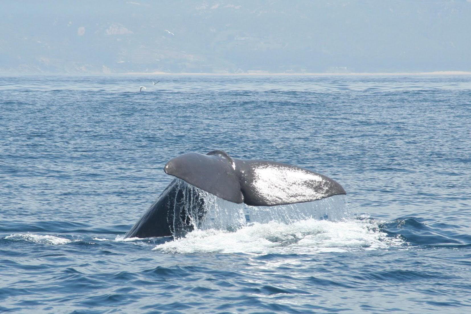 El puente de Andalucía trae el arranque de la temporada de ballenas y delfines a Tarifa
