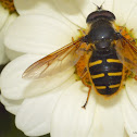 Western Pond Flower Fly