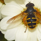 Western Pond Flower Fly