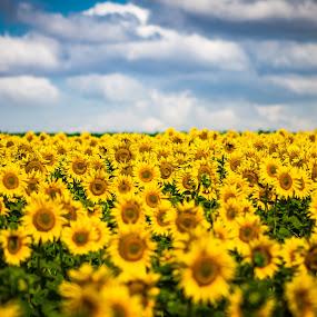 painting... by Lupu Radu - Landscapes Prairies, Meadows & Fields ( clouds, field, dobrogea, summer, sunflower,  )