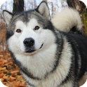 Malamute Dog Live Wallpaper icon