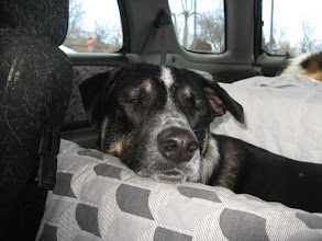Photo: Tiki, a Blue heeler/Husky mix relaxes after her mom, the canine massage therapist, concludes her day's sessions.