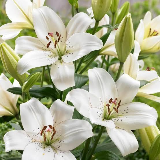 5. ดอกลิลลี่สีขาว (White Lily Extract)