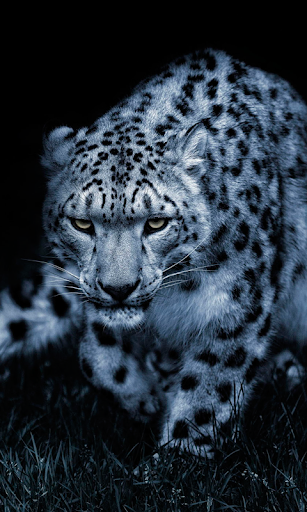 Snow Leopard Wallpaper HD : backgrounds & themes ss1