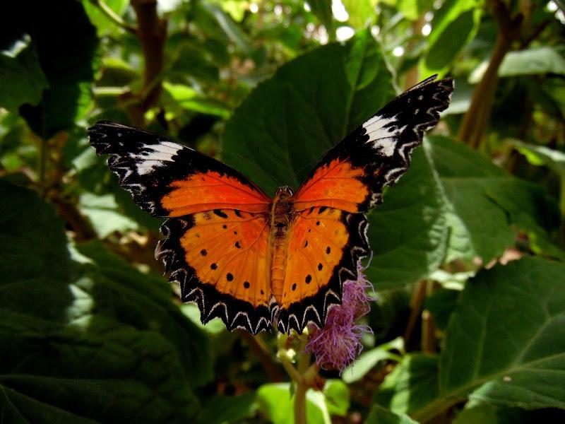 Farfalla di supergigi