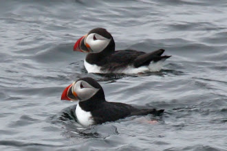 Photo: Atlantic Puffin
