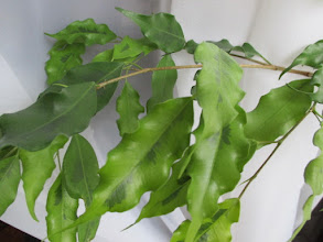 "Photo: Ficus benjamina ""Golden Monique"""