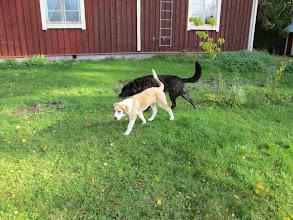 Photo: On niin ihanaa kun molemmilla koirilla on seuraa!