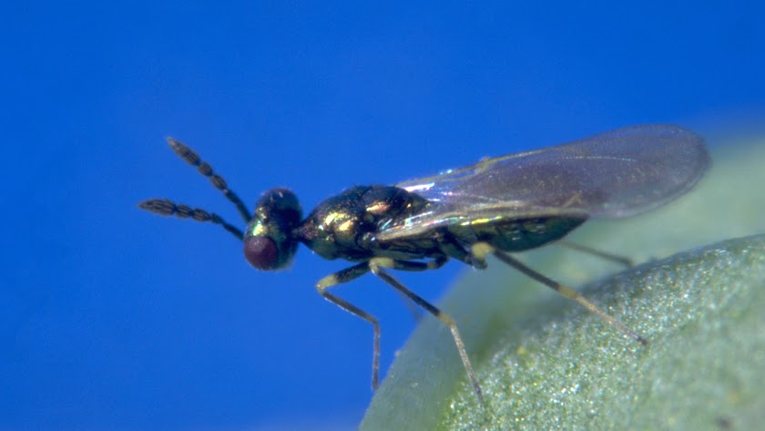 Insecto Diglyphus isaea.