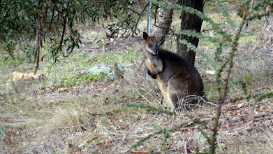 Photo: Wallaby along the track. There was 2 of em