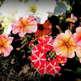 Petunia Basket by Becky Luschei - Flowers Flower Arangements ( reds, eery, oranges, fire hazed sky, petunia basket, rendering, orange cast )