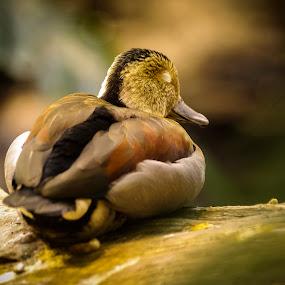 Sleeping Beauty by Gabriel Cabrera - Animals Birds ( animals, nature, duck, birds )