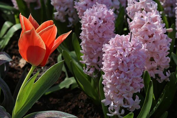 un tulipano di troppo di SALVATORE PETRENGA