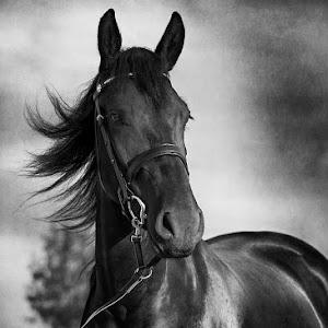 horse-portrait-in-black-.jpg