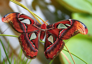Photo: Attacus atlas- největší motýl na světě - Botanická zahrada Brno12.9.2014 http://www.turistika.cz/cestopisy/101-praha-troja-botanicka-zahrada-a-brnenska-botanicka-s-nejvetsimi-motyly-na-svete